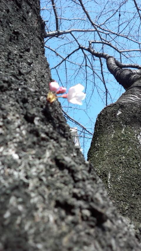 2012 桜一号