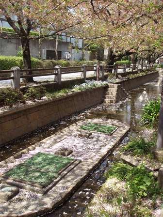 呑川 桜の川.JPG