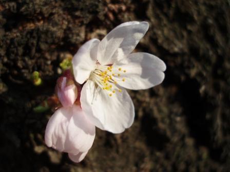 呑川の桜 咲きました!