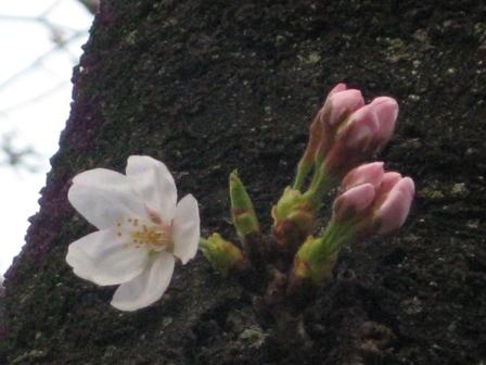 呑川3/22 開花